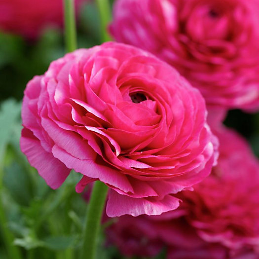View larger image of 'Tecolote Pink' Ranunculus Bulbs