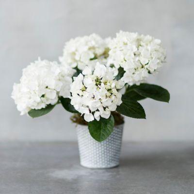 White Hydrangea, Dotted Pot
