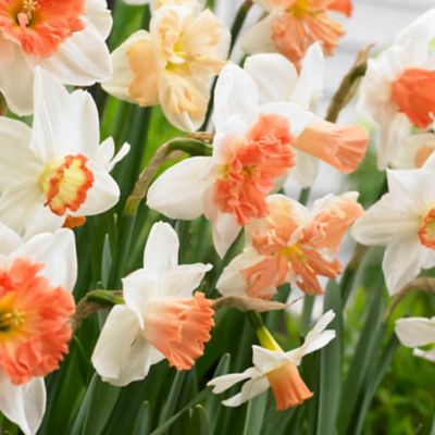 Narcissus 'Pink Mix' Bulbs