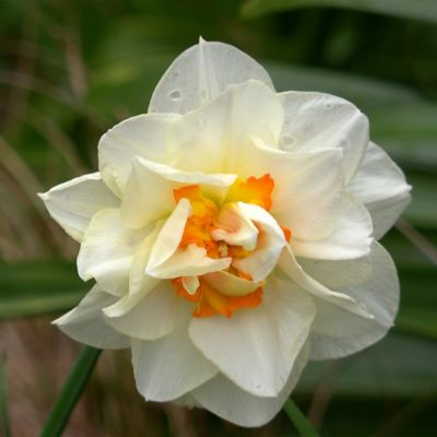 Narcissus 'Double Fashion' Bulbs