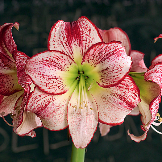 View larger image of Amaryllis 'Flamenco Queen' Bulb