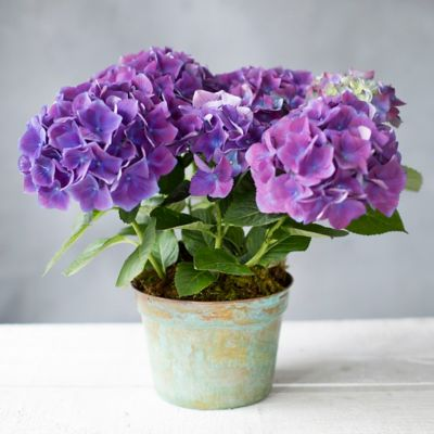 New Wine Hydrangea, Verdigris Pot