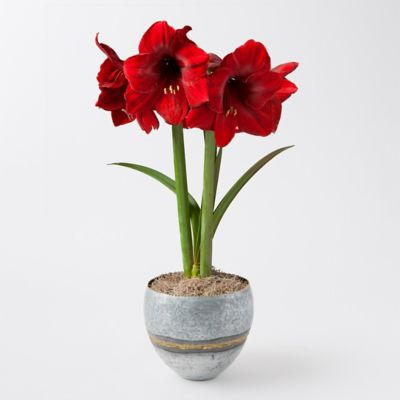 'Red Pearl' Amaryllis, Brass Welds Pot