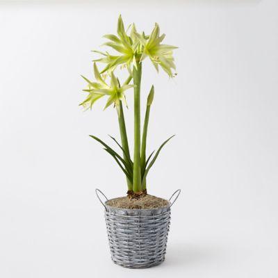 'Evergreen' Amaryllis, Wicker Pot