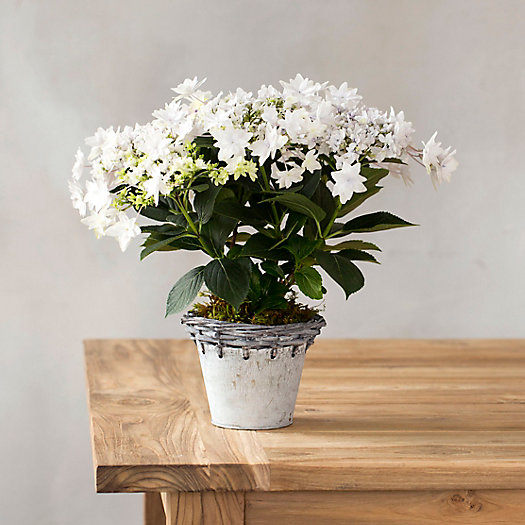 View larger image of Shooting Star Hydrangea, Metal Weave Pot