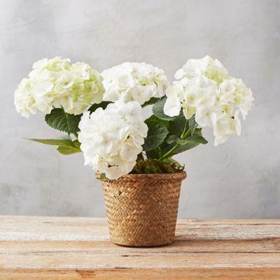 White Robe Hydrangea, Woven Grass Pot