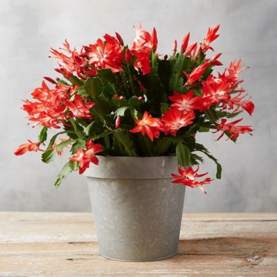Christmas Cactus, Large Zinc Flower Pot