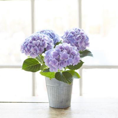 Hydrangea, Scalloped Stripe Pot