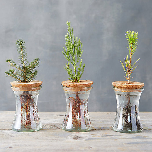 View larger image of Live Evergreen Sapling Trio