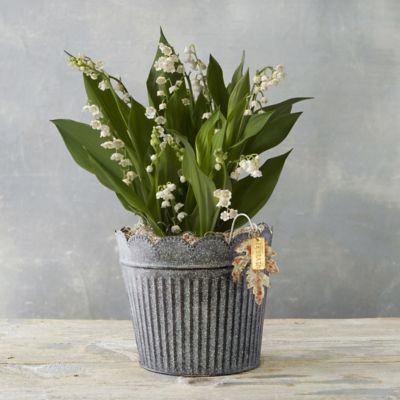 Lily of the Valley, Black Scalloped Pot