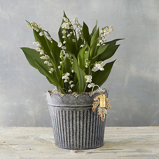 View larger image of Lily of the Valley, Black Scalloped Pot