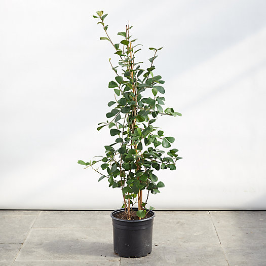 View larger image of Ficus Triangularis Plant