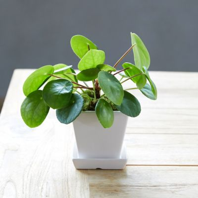Pilea peperomioides, Square Pot