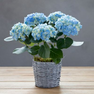 Blue Hydrangea, Large Wicker & Metal Pot
