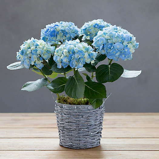 View larger image of Blue Hydrangea, Large Wicker & Metal Pot