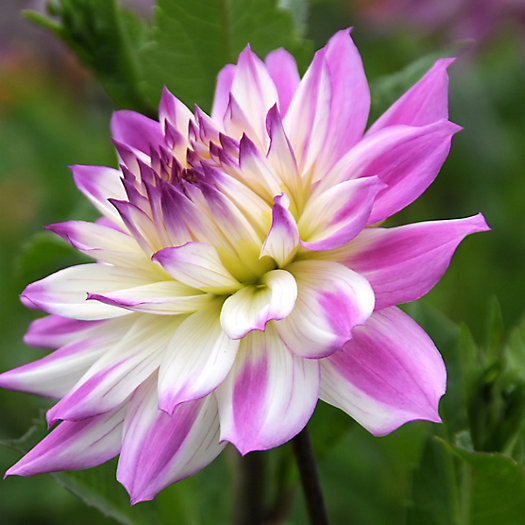 View larger image of Dahlia 'Ferncliff Illusion' Bulb