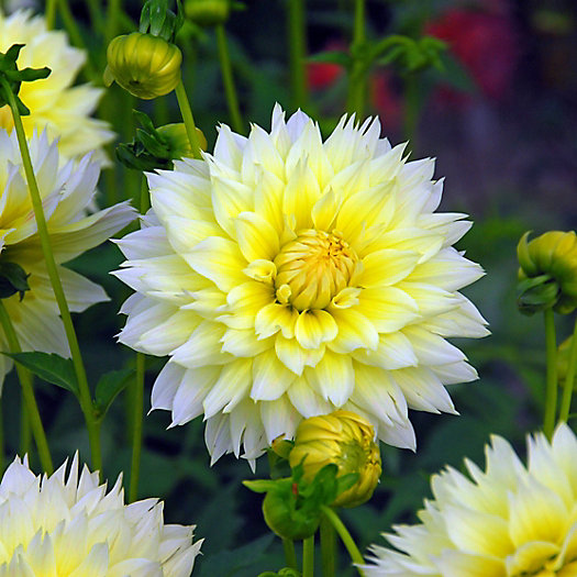 View larger image of Dahlia 'Fubuki Canary' Bulb