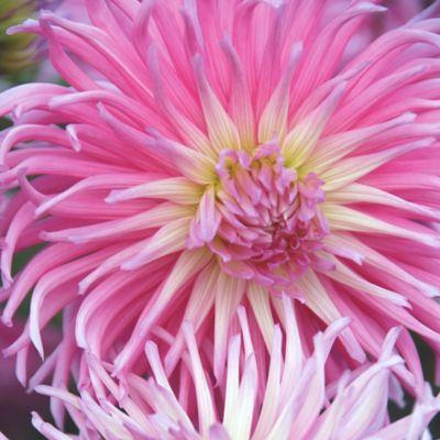 Dahlia 'Star's Favorite' Bulb