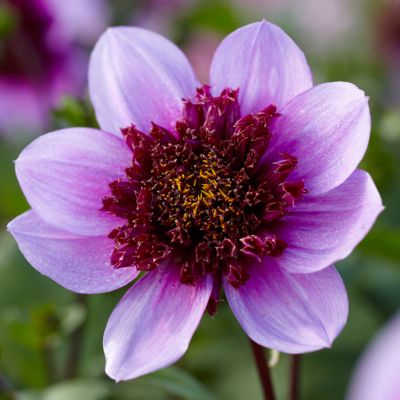 Dahlia 'Blue Bayou' Bulbs