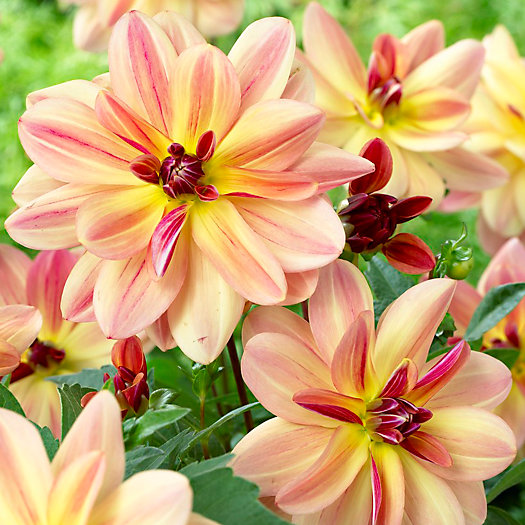 View larger image of Dahlia 'Happy Butterfly' Bulbs
