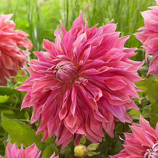 View larger image of Dahlia 'Penhill Dark Monarch' Bulbs