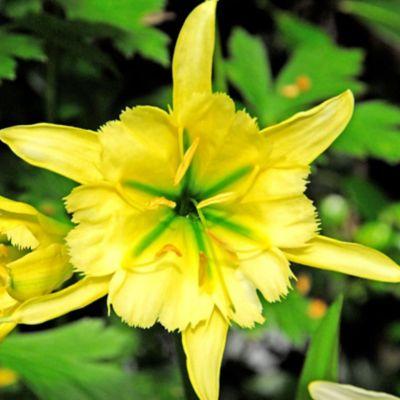 Hymenocallis 'Sulphur Queen' Bulb