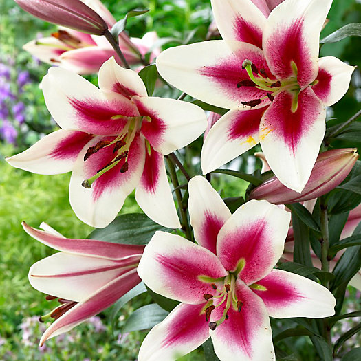 View larger image of Lily 'Altari' Bulbs