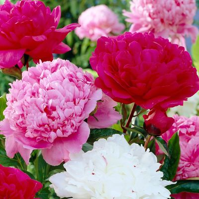 Peony Cotton Candy Mix