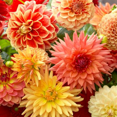 Dahlia All-in-One Mixed Bulbs