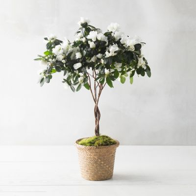 Potted Azalea Topiary