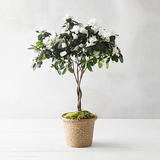 View larger image of Potted Azalea Topiary