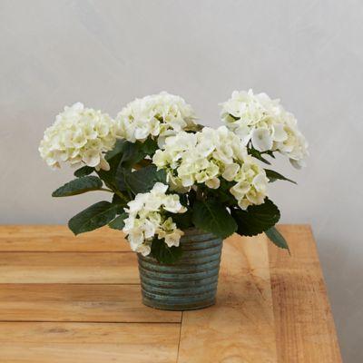 Glory Hydrangea, Metal Pot