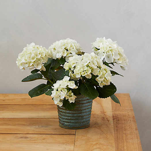 View larger image of Glory Hydrangea, Metal Pot