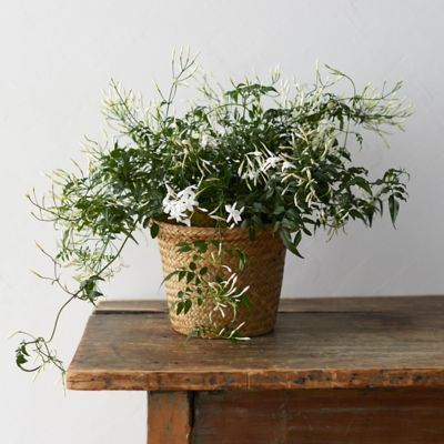 White Jasmine, Grass Pot