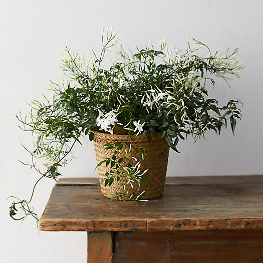 View larger image of White Jasmine, Grass Pot