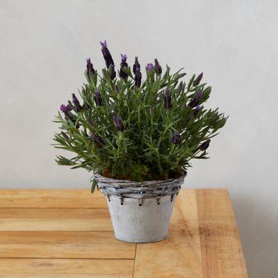Lavender, Metal Weave Pot