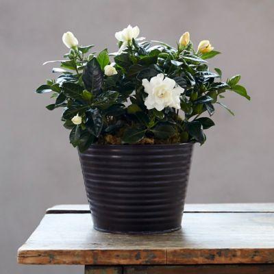 Gardenia, Metal Pot