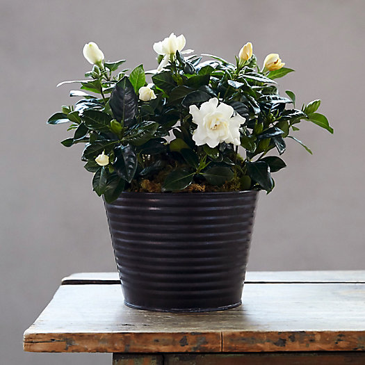 View larger image of Gardenia, Metal Pot