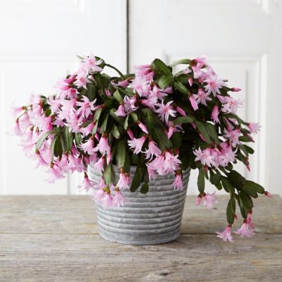 Spring Flowering Cactus, Waved Metal Pot