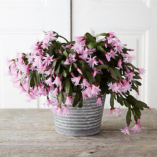 View larger image of Spring Flowering Cactus, Waved Metal Pot