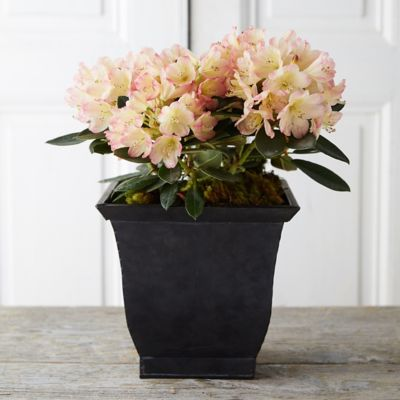 Rhododendron, Metal Pot