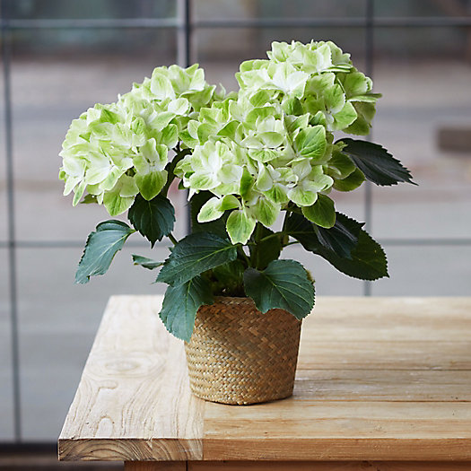 View larger image of Hydrangea Noblesse, Woven Grass Pot