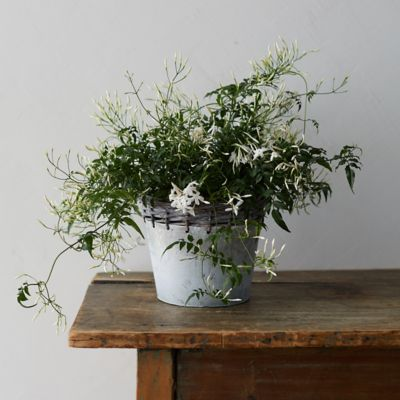 White Jasmine, Metal Weave Pot