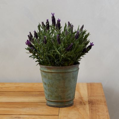 Lavender, Rimmed Metal Pot