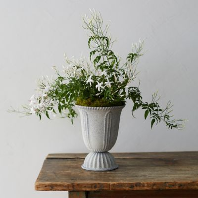 White Jasmine, Tall Urn Pot