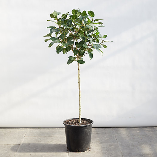 View larger image of Ficus Audrey Plant