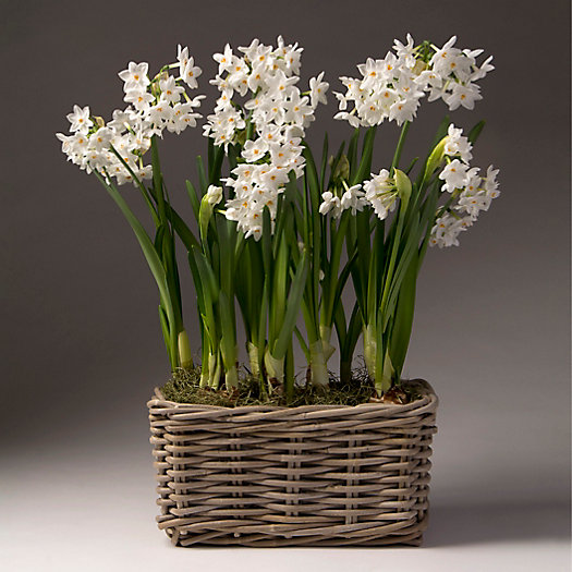 View larger image of Paperwhites, Rattan Rectangle Pot