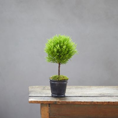 Lemon Cypress Topiary, Black Metal Pot