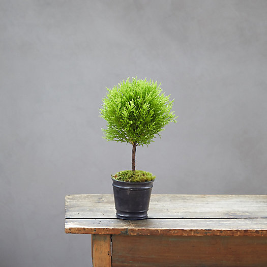 View larger image of Lemon Cypress Topiary, Black Metal Pot