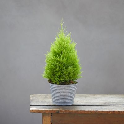Lemon Cypress Topiary, Striped Metal Pot